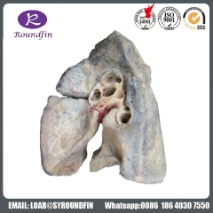 Various Types Dissection the larynx silicone specimens for medical teaching